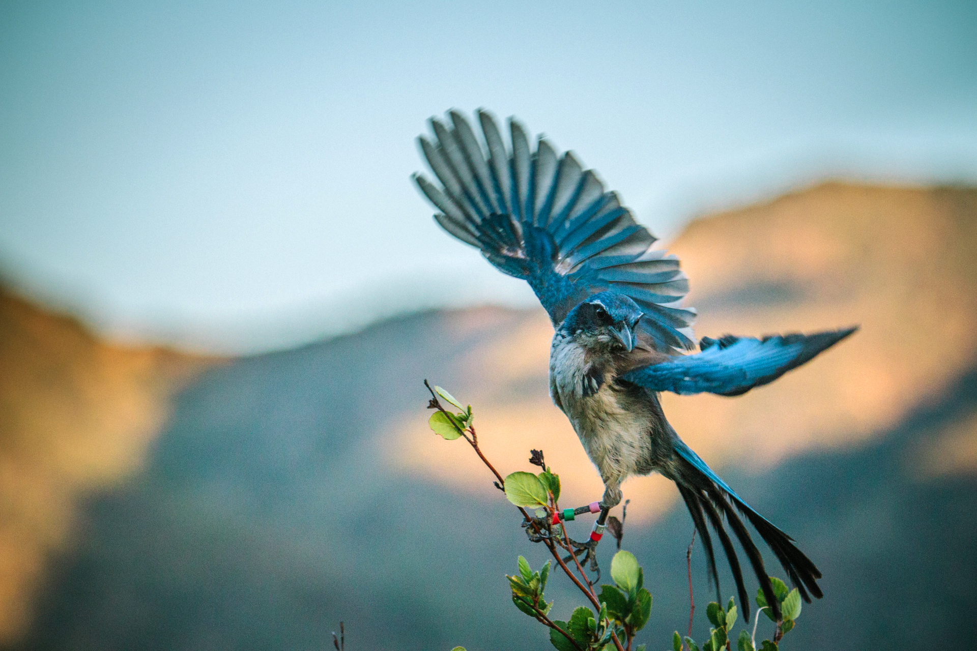NCM 16006 Island Scrub Jays and Climate